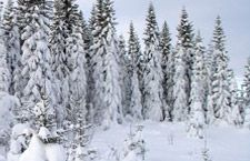 Spruce trees. Wikipedia